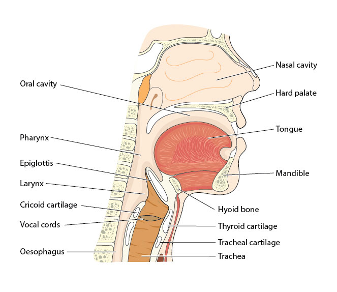 A graphic of a person's oral anatomy with each part labeled